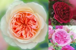 WLW-NewDavidAustinGardenRoseProductGuides_D313-Garden_Roses_2